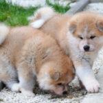 Akita štenci