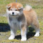 Japanska Akita štene